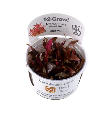 Alternanthera reineckii ´Mini´ 1-2 Grow