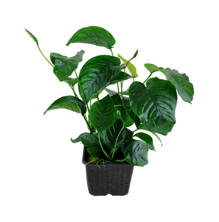 Anubias barteri var, caladiifolia moderplanta